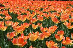 Tulpe in Gatineau Kanada, Nordamerika Stockbild