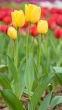 Tulpe, gelbe Tulpen und rote Tulpen würzen im Frühjahr Stockfoto