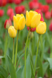 Tulpe, gelbe Tulpen und rote Tulpen würzen im Frühjahr Stockbild