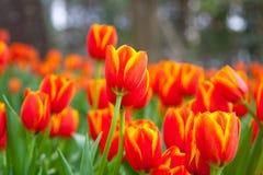 Tulpe im Garten lizenzfreies stockfoto