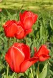 Tulpe im Garten stockfotografie