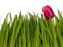 Tulpe im Gras lokalisiert auf weißem Hintergrund stockbild