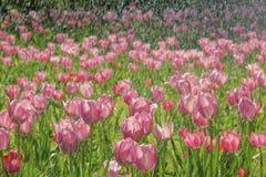 Tulpe im Regen Lizenzfreies Stockbild