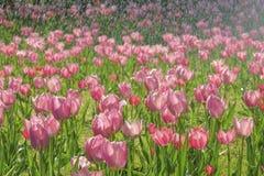Tulpe im Regen Stockbild