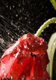 Tulpe im Regen Stockfotos