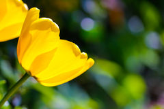 Tulpe im Sonnenschein Lizenzfreie Stockbilder