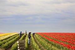 Tulpe-Jahreszeit stockbild