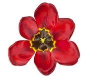 Tulpe lokalisiert - Rot stockbilder