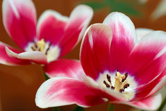 Tulpe mit dem geöffneten Blumenblatt stockbilder