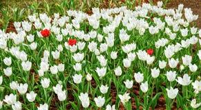 Tulpe mit drei Rottönen in einem Meer von weißen Tulpen Stockfotografie