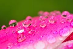 Tulpe mit Wassertropfen Stockbild