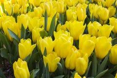 Tulpe Schöner Blumenstrauß der Tulpen Bunte Tulpen Tulpen im Frühjahr, bunte Tulpe Lizenzfreies Stockfoto