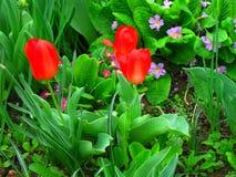Tulpe Schöner Blumenstrauß der Tulpen Bunte Tulpen Tulpen im Frühjahr, bunte Tulpe Stockbild