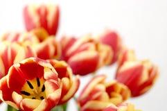 Tulpe, Schönheitsensemble stockbild