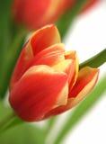 Tulpe - Tulipa gesneriana Lizenzfreies Stockfoto