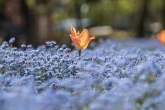 Tulpe und einige blaue Blumen Lizenzfreie Stockfotografie