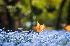 Tulpe und einige blaue Blumen Stockfoto