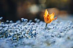Tulpe und einige blaue Blumen Lizenzfreie Stockfotos