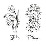 Tulpe und Flammenblumen stock abbildung