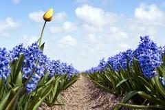 Tulpe und Hyazinthen Stockfotos