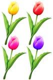 Tulpe in vier Farben stock abbildung