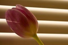 Tulpe vor Fenster-blindem Lizenzfreie Stockbilder