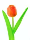 Tulpe - weißer Hintergrund stockbild