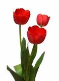 Tulpebündel mit drei Rottönen Stockfoto