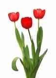 Tulpebündel mit drei Rottönen Stockbild