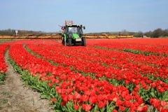 Tulpebauernhof in den Niederlanden. Stockfoto