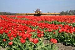 Tulpebauernhof in den Niederlanden. Stockfotografie