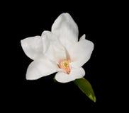 Tulpebaumblüte Lizenzfreies Stockbild