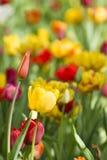 Tulpeblüten Stockfotografie