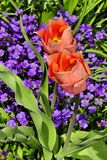 Tulpeblüten Lizenzfreies Stockbild