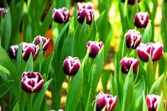 Tulpeblume in voller Blüte Stockfotos