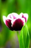 Tulpeblume in voller Blüte Lizenzfreie Stockfotografie