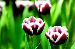 Tulpeblume in voller Blüte Stockbild