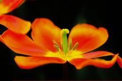 Tulpeblume in voller Blüte Lizenzfreies Stockbild