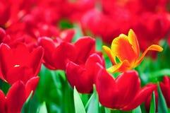 Tulpeblume in voller Blüte Stockbilder