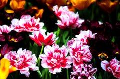 Tulpeblume in voller Blüte Stockfoto
