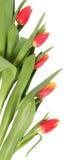 Tulpeblumen getrennt Lizenzfreies Stockfoto