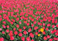 Tulpeblumenbett Stockbilder