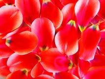 Tulpeblumenblätter Lizenzfreies Stockbild