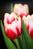 Tulpeblumenstrauß lizenzfreie stockfotografie