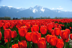 Tulpefeld im Frühjahr Stockbild
