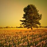 Tulpefeld mit Baum Lizenzfreie Stockfotografie