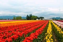 Tulpefeld mit bunten Reihen der Blumen Lizenzfreie Stockfotos