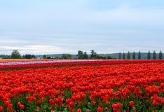 Tulpefeld mit bunten Reihen der Blumen lizenzfreie stockfotografie