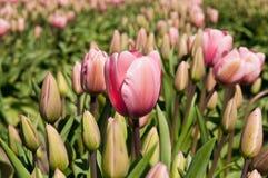 Tulpefeld mit rosa Blumen stockfoto