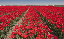 Tulpefelder in den Niederlanden Lizenzfreies Stockbild